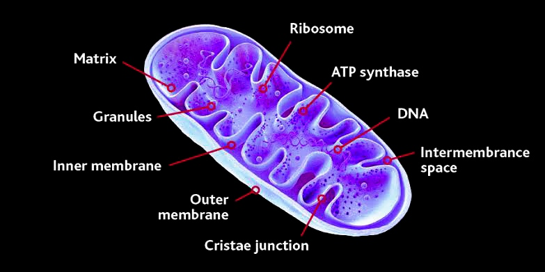 Mitochondria:Discovery, shape & size, chemical composition, structure, function