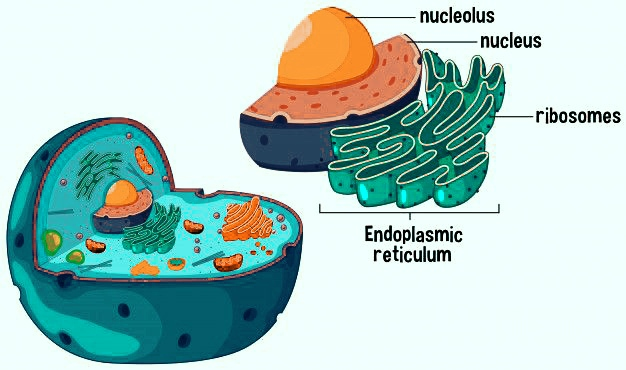 Ribosome : composition, function & types of ribosomes(zooconcept)