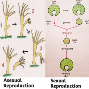 Reproduction (Asexual and Sexual) :Definition, types & Example