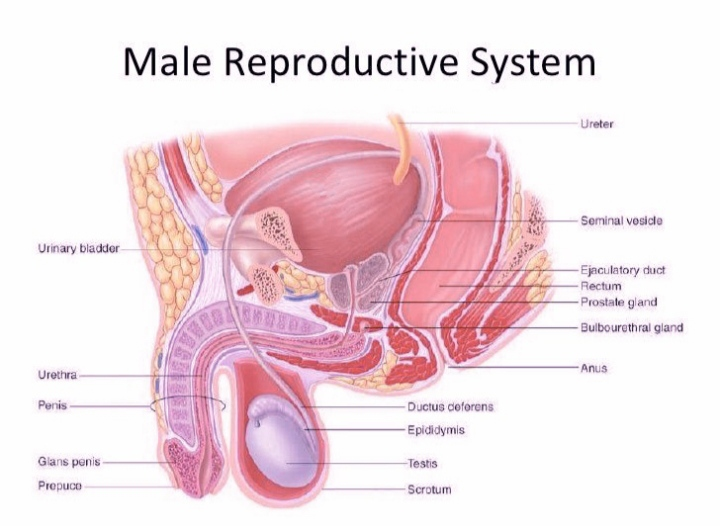 ||Male Reproductive System||: Structure and Function (Zooconcept.in)