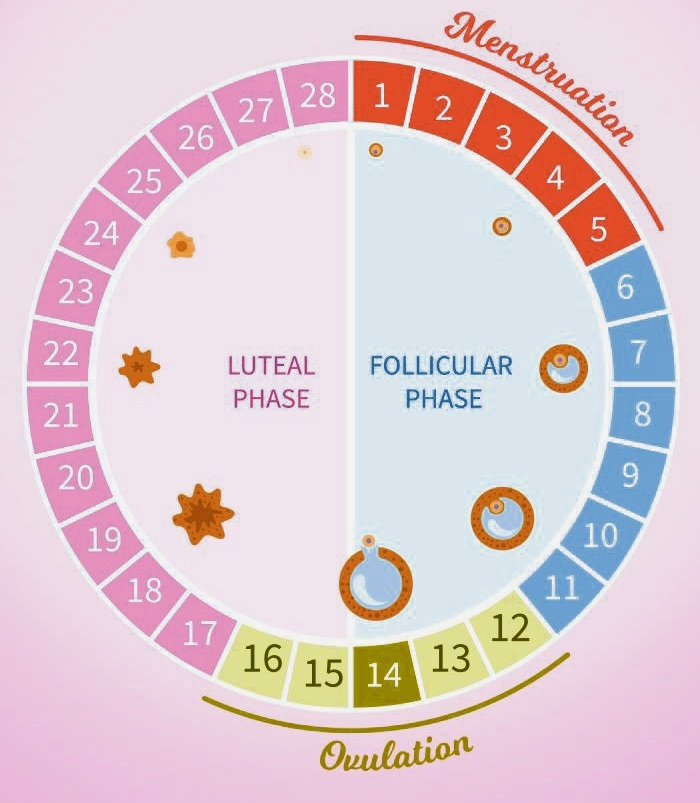 The Menstrual Cycle (zooconcept.in)