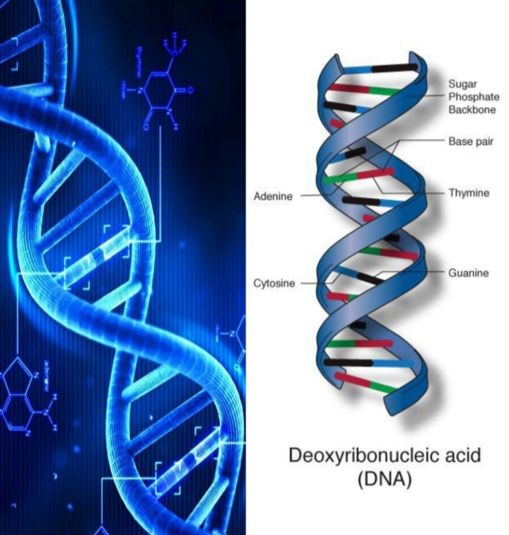 DNA (Deoxyribose Nucleic Acid) :Introduction, Structure, Function, Molecular Organization, Chemical Components, Biological Significance of DNA (Zooconcept.in)