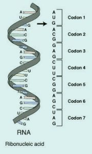 RNA | Definition, Structure, Types & Function||Zooconcept.in||