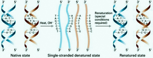 Denaturation and Renaturation of DNA (Zooconcept.in)