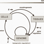 Theory Of Epigenesis || Zooconcept. In ||